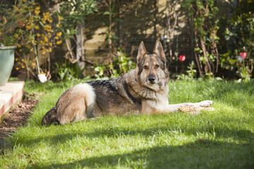 German Shepherd Dog laid on grass