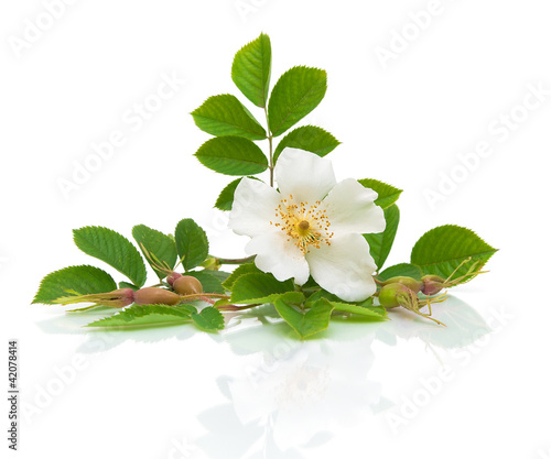 Flower hips on a white background