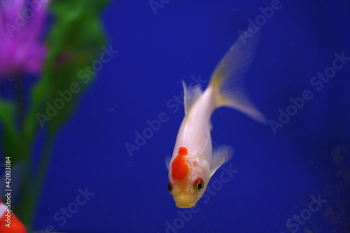 White goldfish with red head in aquarium