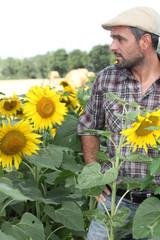man in sunflower field