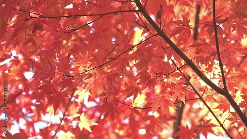 Autumn Leaves in Momiji mountain,Yamanashi,Japan_1