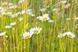 Margeriten versteckt im Gras