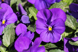 Fototapety Purple Pansy Flowers