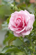 Pink rose with water drops in a garden