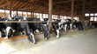 Holstein Cows on Farm