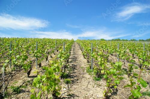 Allées de vignes