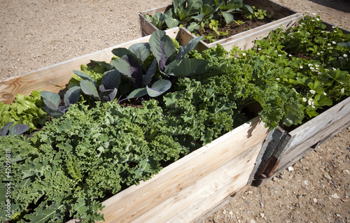Kale, cabbage and salad