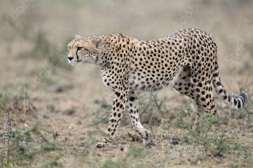 Cheetah walking in rain.