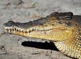 saltwater or eustarine crocodile close up, queensland, australia poster