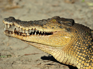 saltwater or eustarine crocodile, queensland, australia