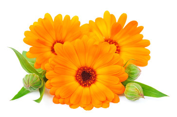 Calendula flower isolated
