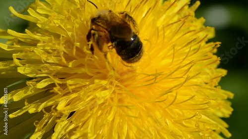 bee and dandelion flower in the wind