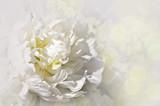 Pivoine blanche - Fine Art prints
