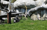 Gray Gorilla in a Zoo Enclosure poster
