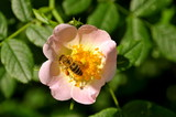 Bee pollinating a flower poster