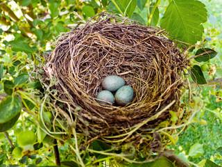 Eier einer Amsel in einem Vogelnest