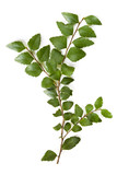 Myrtle Beech Leaves Isolated
