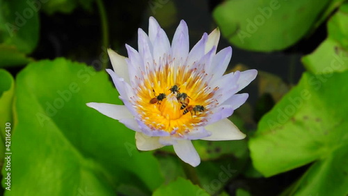 lotus and bees