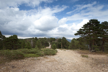 road in pine tree forest