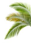 Fototapety Leaves of palm tree