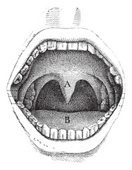 Fig. 182. Illustration of the inside of a human mouth, vintage e