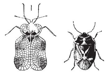 Left - Hemiptera Heteroptera, tiger bug or lace bug, Right - Nez