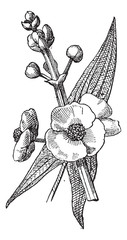 Sagittaria or Sagittaria sp., vintage engraving