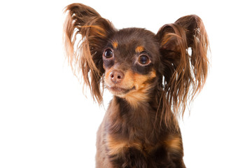 portrait of  long-haired toy terrier on isolated white