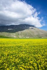 Yellow Lentils Flowers at Castelluccio di Norcia, Umbria, Italy.