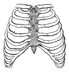 Sternum or Breastbone, vintage engraving.