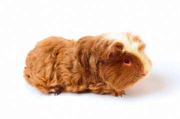 One guinea pig merino on white background