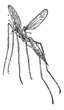 Crane fly or mosquito hawk, vintage engraving.