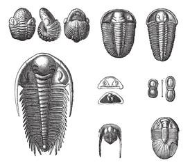 Trilobites, vintage engraving.