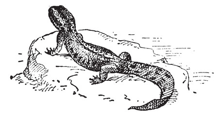Crested Newt or Triturus sp., vintage engraving