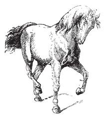 Horse Training, vintage engraving