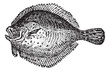 Turbot or Scophthalmus maximus, vintage engraving