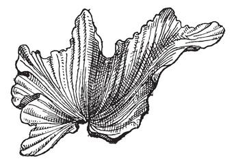 Sea Lettuceor Ulva lactuca, vintage engraving