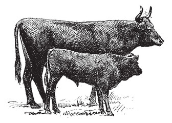 Auvergne cattle breed, vintage engraving.