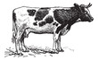 Dutch cattle breed, vintage engraving.