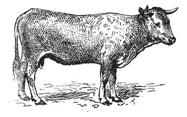 Garonne cattle, vintage engraving.