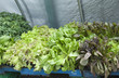 fresh salad growing in the greenhouse