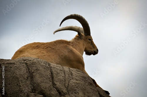 Mountain goat on a cliff