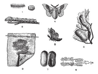 Silkworm or Bombyx mori, vintage engraving