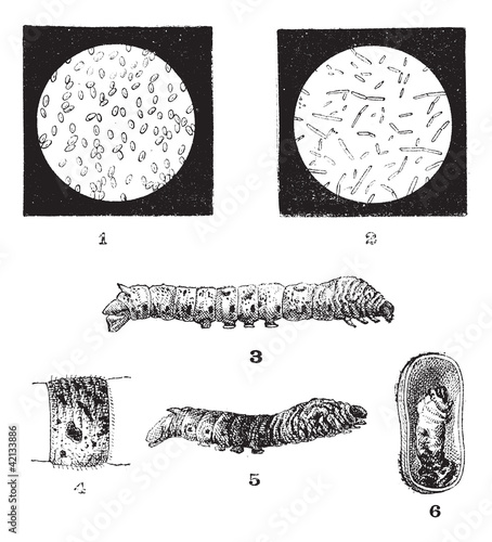 Diseases of Silkworms, vintage engraving