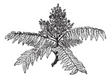 Tree of Heaven or Ailanthus altissima, vintage engraving