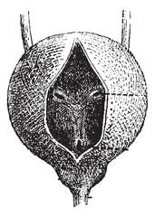 Human Urinary Bladder, vintage engraving