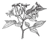 Jasmine or Jasminum, vintage engraving.