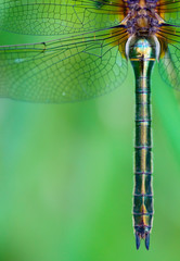 Detail of a dragonfly (Cordulia aenea)
