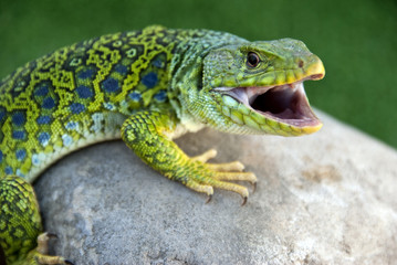 lagarto Ocelado (lacerta lépida)