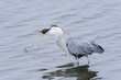 great blue heron, ardea herodias, california